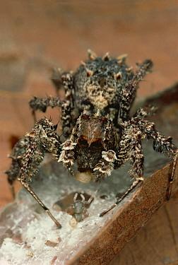 Jumping Spider (Portia fimbriata) eating spiderlings and eggs of her beaten Portia opponent, Queensland, Australia  -  Mark Moffett