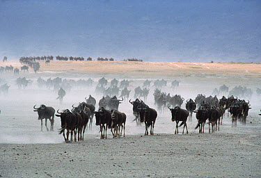 Blue Wildebeest (Connochaetes taurinus) herd in dust, Serengeti National Park, Tanzania  -  Mitsuaki Iwago