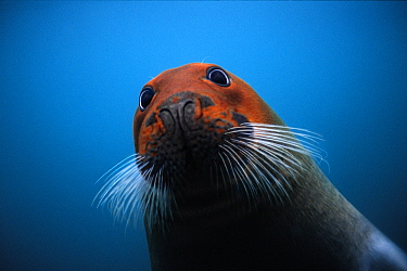 Bearded Seal (Erignathus barbatus) with head stained red from iron-rich soil sediments in which it forages for food, Svalbard, Norway