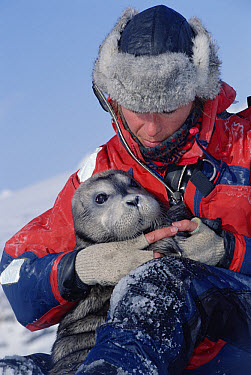 Bearded Seal (Erignathus barbatus) researcher pulls pup from mother to lure her onto ice for weighing, Svalbard, Norway  -  Flip  Nicklin