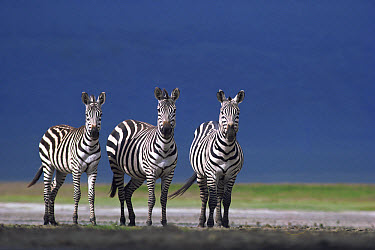 Burchell's Zebra (Equus burchellii) trio on dusty plain, Serengeti National Park, Tanzania  -  Mitsuaki Iwago