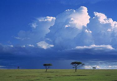 Whistling Thorn (Acacia drepanolobium) trees, Masai Mara National Reserve, Kenya  -  Shin Yoshino