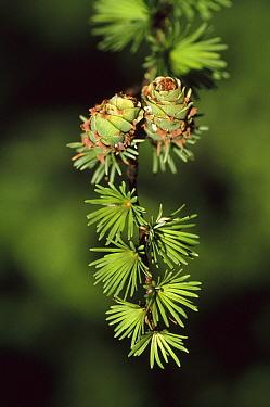 Larch (Larix leptolepis) branch with cones, Nagano, Japan  -  Shin Yoshino