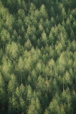 Larch (Larix leptolepis) forest, Japan  -  Shin Yoshino