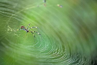 Spider on web, Nagasaki, Japan  -  Shin Yoshino