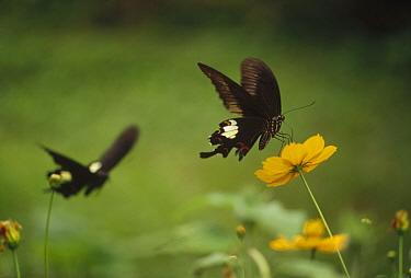 Chines Peacock (Papilio bianor) pair feeding on flower nectar, Nagasaki, Japan  -  Shin Yoshino