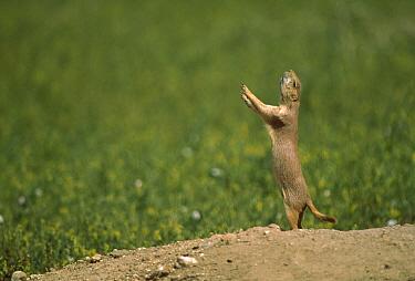 Black-tailed Prairie Dog (Cynomys ludovicianus) sounding all clear call at burrow entrance, Colorado  -  Shin Yoshino