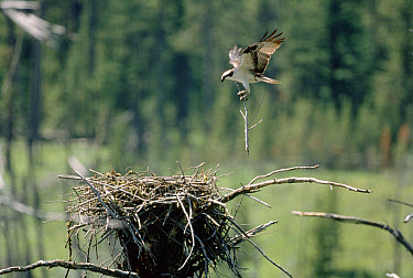 Osprey (Pandion haliaetus) carrying branch to nesting site, Earthquake Lake, Idaho  -  Shin Yoshino