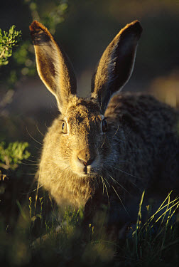 Black-tailed Jackrabbit (Lepus californicus) portrait, Yellowstone National Park, Wyoming  -  Shin Yoshino