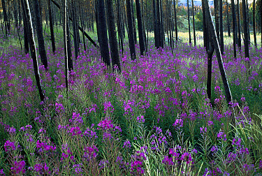 Fireweed (Chamerion angustifolium) flowers in bloom around fire scorched trees, Yellowstone National Park, Wyoming  -  Shin Yoshino