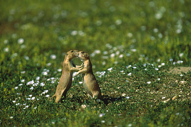 Black-tailed Prairie Dog (Cynomys ludovicianus) pair touching noses for identification, Colorado  -  Shin Yoshino