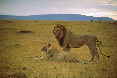 African Lion (Panthera leo) male and female, Masai Mara National Reserve, Kenya  -  Shin Yoshino