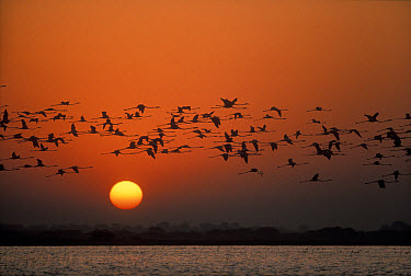 Flamingo (Phoenicopterus sp) flock flying at sunrise, Nalsarovar Bird Sanctuary, India  -  Shin Yoshino