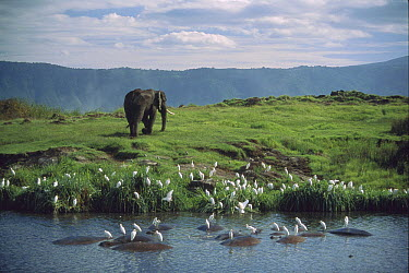 African Elephant (Loxodonta africana) along waterhole with wallowing Hippopotamuses (Hippopotamus amphibious) and Cattle Egret (Bubulcus ibis) flock, Ngorongoro Crater, Tanzania  -  Shin Yoshino