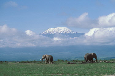 African Elephant (Loxodonta africana) pair roaming grasslands in front of Mt Kilimanjaro, Tanzania  -  Shin Yoshino