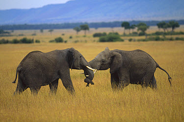 African Elephant (Loxodonta africana) males fighting, Masai Mara National Reserve, Kenya  -  Shin Yoshino
