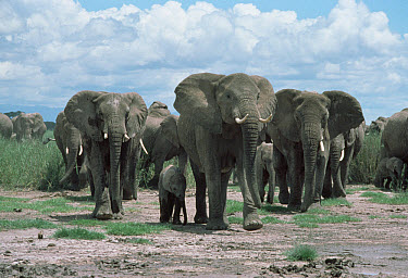 African Elephant (Loxodonta africana) herd of adults and young, Masai Mara National Reserve, Kenya  -  Shin Yoshino
