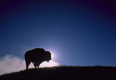 American Bison (Bison bison) silhouetted at dawn, Yellowstone National Park, Wyoming  -  Shin Yoshino