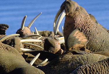 Pacific Walrus (Odobenus rosmarus divergens) colony, Siberia, Russia  -  Michio Hoshino