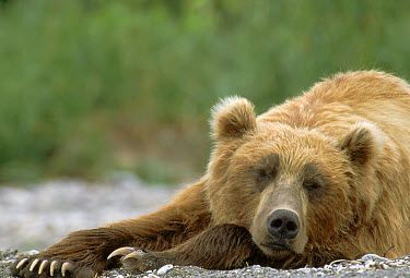 Brown Bear (Ursus arctos) sleeping, Kamchatka, Russia  -  Michio Hoshino