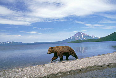 Brown Bear (Ursus arctos) at waters edge, Kamchatka, Russia  -  Michio Hoshino