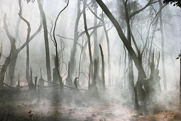 Smoking rainforest after a natural forest fire, Kangaroo Island, Australia  -  Mitsuaki Iwago