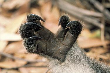 Koala (Phascolarctos cinereus) forepaw detail, Kangaroo Island, Australia  -  Mitsuaki Iwago