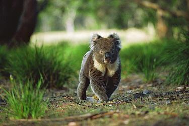 Koala (Phascolarctos cinereus) male crossing the forest floor, Kangaroo Island, Australia  -  Mitsuaki Iwago
