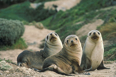 Australian Sea Lion (Neophoca cinerea) pups on sandy beach, Australia  -  Mitsuaki Iwago