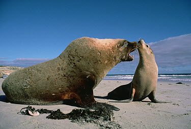 Australian Sea Lion (Neophoca cinerea) male approaching a female to mate, Australia  -  Mitsuaki Iwago