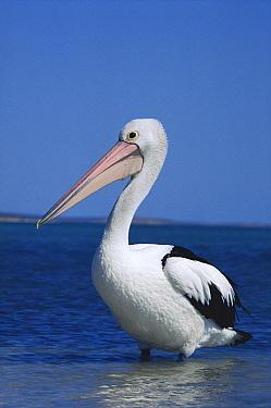 Australian Pelican (Pelecanus conspicillatus) portrait, Australia  -  Mitsuaki Iwago
