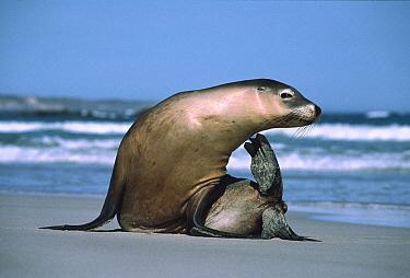 Australian Sea Lion (Neophoca cinerea) scratching itself, Kangaroo Island, Australia  -  Mitsuaki Iwago