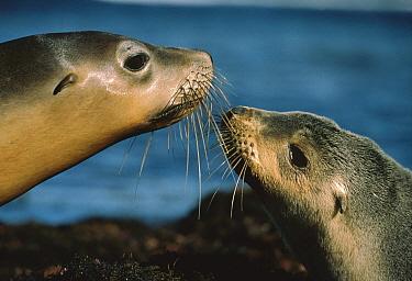 Australian Sea Lion (Neophoca cinerea) pup nuzzling mother, Kangaroo Island, Australia  -  Mitsuaki Iwago