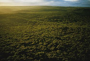 Gum Tree (Eucalyptus sp) forest, Kangaroo Island, Australia  -  Mitsuaki Iwago