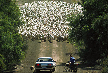 Domestic Sheep (Ovis aries) herder stops to talk in middle of the road, Kangaroo Island, Australia  -  Mitsuaki Iwago