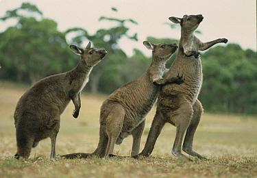 Western Grey Kangaroo (Macropus fuliginosus) group with one scratching companion, Kangaroo Island, Australia  -  Mitsuaki Iwago