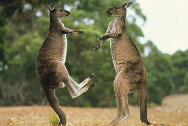Western Grey Kangaroo (Macropus fuliginosus) pair fighting, Kangaroo Island, Australia  -  Mitsuaki Iwago