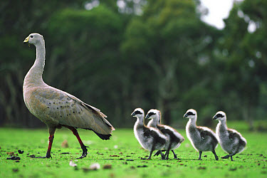 Cape Barren Goose (Cereopsis novaehollandiae) parent and goslings, Kangaroo Island, Australia  -  Mitsuaki Iwago