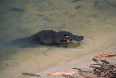 Platypus (Ornithorhynchus anatinus) on shoreline, Kangaroo Island, Australia  -  Mitsuaki Iwago