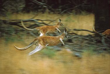 Red Kangaroo (Macropus rufus) hopping males, Kinchega National Park, Australia  -  Mitsuaki Iwago