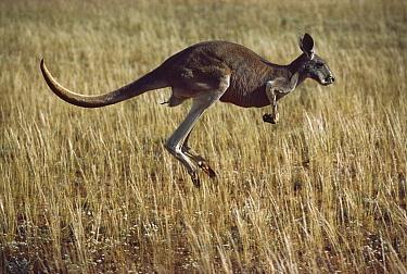 Red Kangaroo (Macropus rufus) male hopping, Sturt National Park, Australia  -  Mitsuaki Iwago