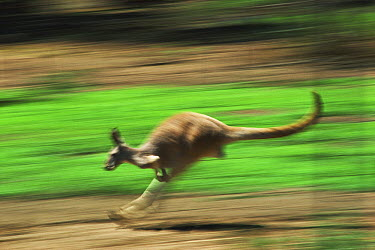 Red Kangaroo (Macropus rufus) hopping, Kinchega National Park, Australia  -  Mitsuaki Iwago