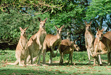 Eastern Grey Kangaroo (Macropus giganteus) group, Australia  -  Mitsuaki Iwago