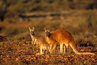 Red Kangaroo (Macropus rufus) male and female with joey in pouch, Sturt National Park, Australia  -  Mitsuaki Iwago