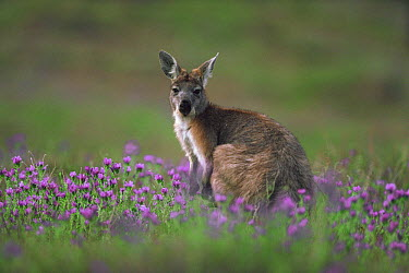 Wallaroo (Macropus robustus) in field of purple flowers, Australia  -  Mitsuaki Iwago