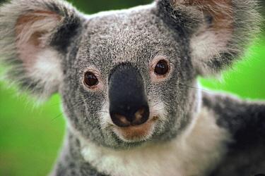 Koala (Phascolarctos cinereus) portrait, Australia  -  Mitsuaki Iwago