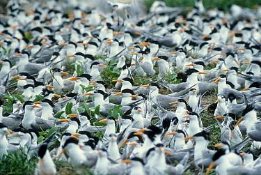 Caspian Tern (Hydroprogne caspia) nesting colony, Australia  -  Mitsuaki Iwago