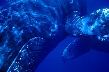 Humpback Whale (Megaptera novaeangliae) singer, Maui, Hawaii - notice must accompany publication; photo obtained under NMFS permit 987