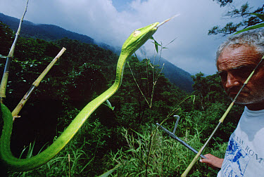 Vine Snake and herpetologist Ted Papenfuss, Tam Dao National Park, Vietnam  -  Mark Moffett