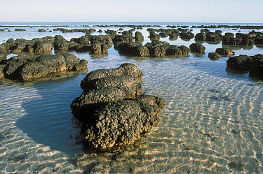 Stromatolites, the oldest life form that still exists today, Shark Bay, Australia  -  Mitsuaki Iwago